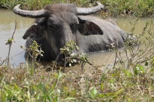 Philippinen, Wasserbüffel