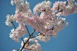 Japan, Tokyo, Cherry Blossom