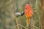 Kolumbien, Kolibri